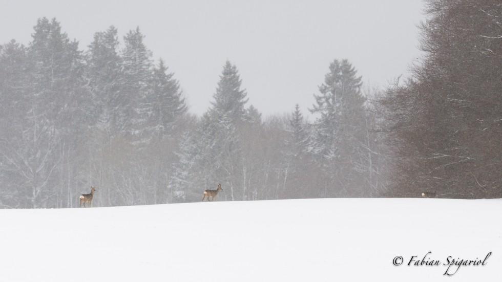 Chevreuils dans un panorama enneigé…