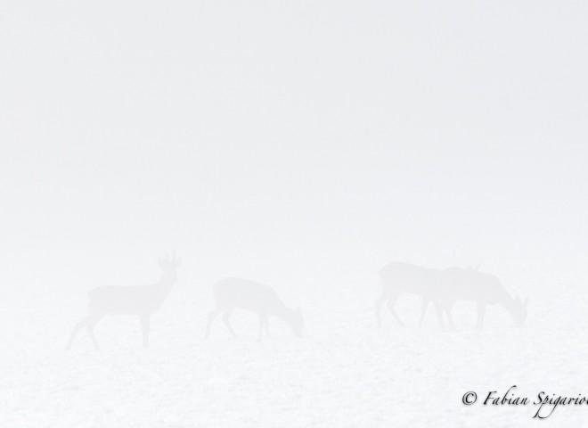 Chevreuils dans la brume du matin…