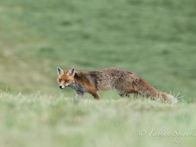 Le renard et la gale…