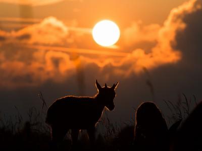 Cabri de bouquetin au crépuscule… ou crépuscule du cabri?