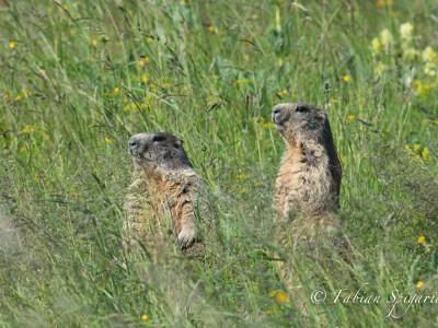 Marmottes dans le vent…
