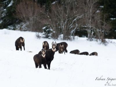 Chamois dans la neige…