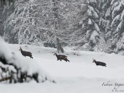 Chamois sous la neige