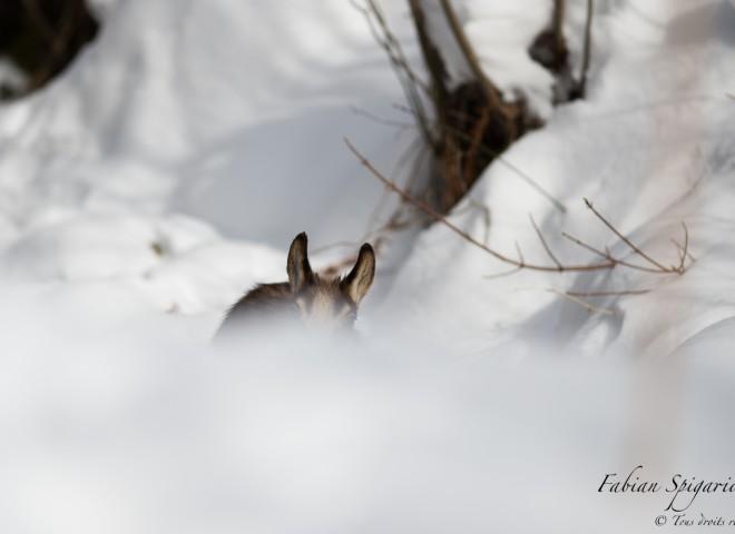 Cache-cache avec un cabri de chamois…