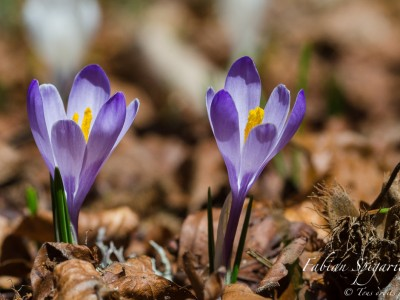 Bouquetins & Crocus