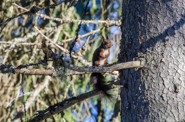 Un Ecureuil forestier...
