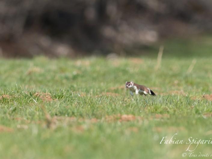 En apesanteur - Lorsque l'hermine court à pleine vitesse, elle semble suspendue dans le vide entre deux foulées.