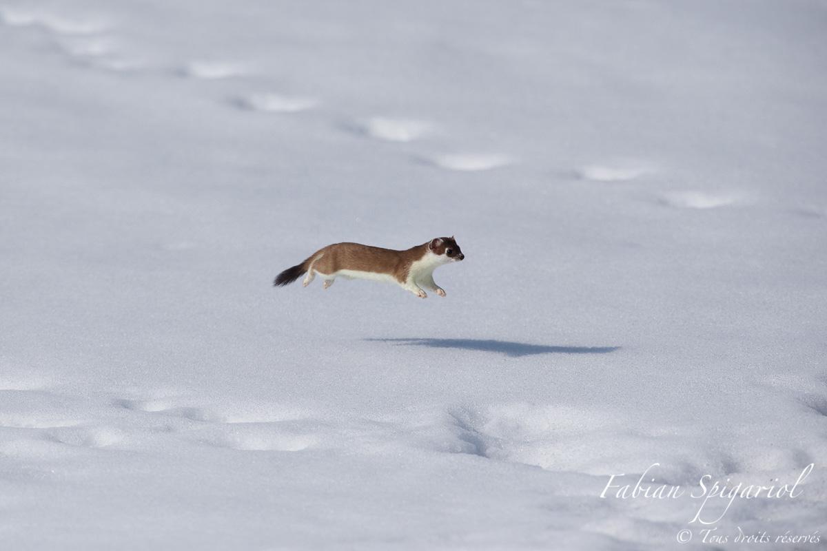 Dame Hermine en lévitation sur la neige du Jura