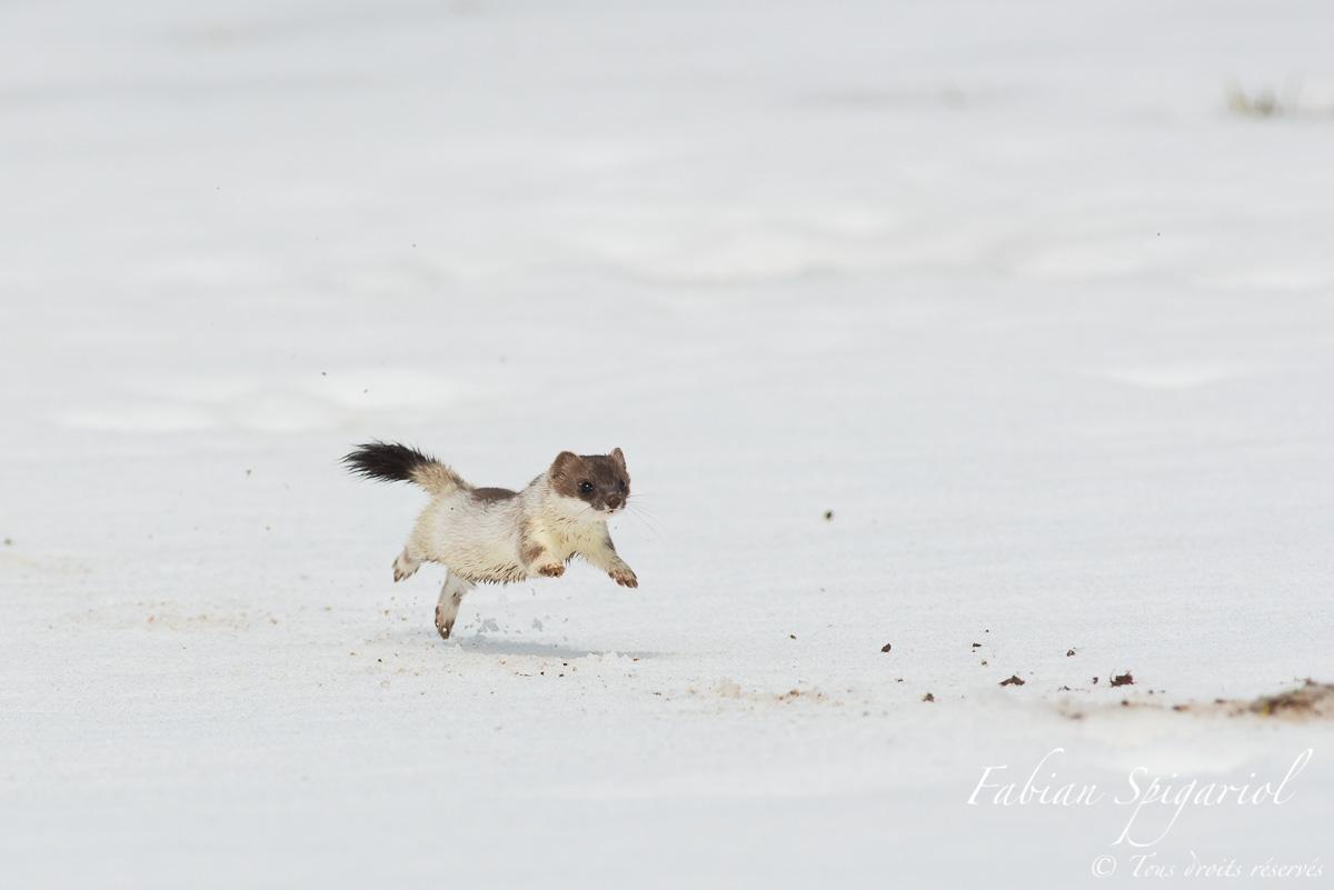 Hermine en chasse - En pleine mue printanière, l'hermine chasse sur les hauteurs du Val-de-Travers en courant d'une galerie de campagnol à l'autre.