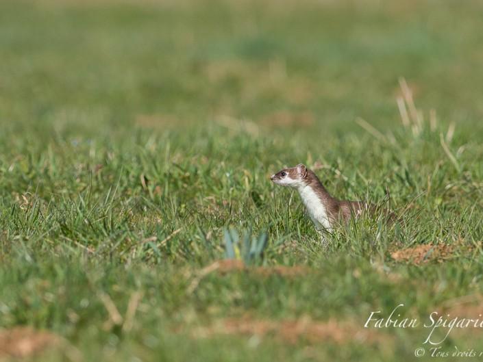Une chasseuse profilée - Avec son allure filiforme, l'hermine est une redoutable chasseuse qui peut traquer les campagnols jusqu'au fin fond de leurs galeries.