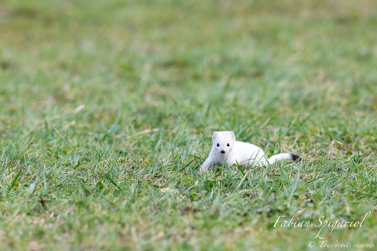 Concentration - A l'affût du moindre frémissement qui trahirait la présence d'un campagnol, l'hermine est pleinement concentrée durant sa partie de chasse.