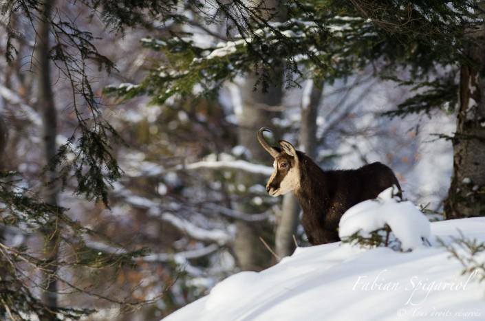 Rencontre hivernale avec un chamois forestier - C'est au coeur d'une forêt enneigée du Val-de-Travers (Jura Suisse) que ce magnifique chamois trône fièrement.
