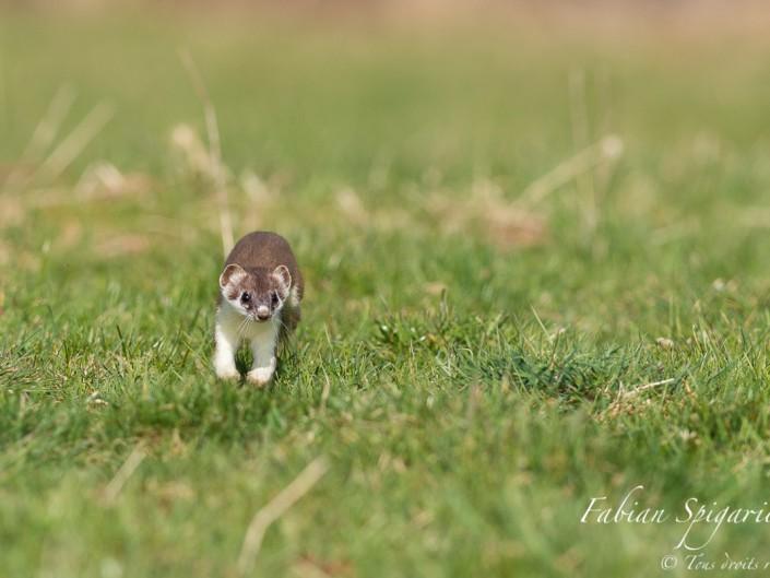 Bondissant avec grâce, l'hermine patrouille sur son terrain de chasse à la recherche d'un campagnol mignon à croquer...