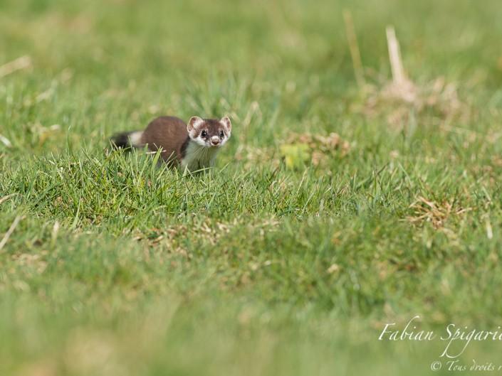 La curiosité l'emporte sur la prudence lorsque cette hermine des hauteurs du Val-de-Travers approche le photographe à quelques mètres seulement.