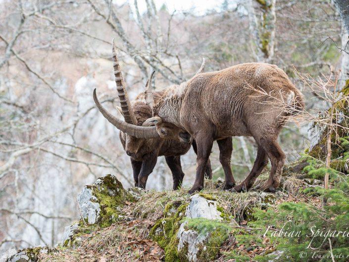 Extrait d'un combat viril et rugueux entre deux bouquetins mâles dans la réserve du Creux-du-Van.