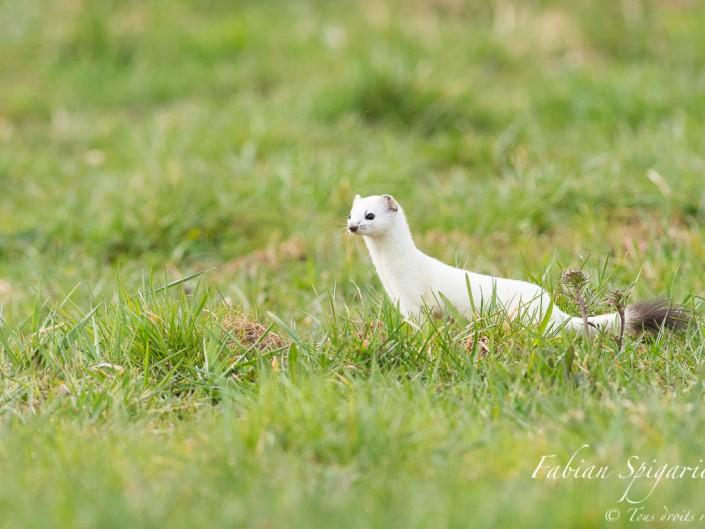 La dame blanche sur son terrain de chasse: A l'affût du moindre mouvement, l'hermine traque méthodiquement les campagnols jusqu'au plus profond de leurs terriers.