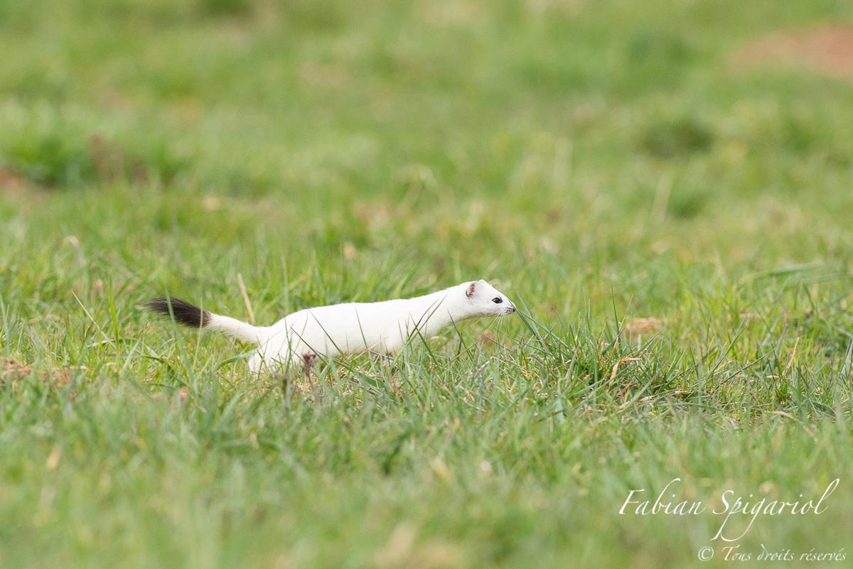 La fusée blanche en action: Lorsque l'hermine démarre, les campagnols n'ont aucune chance d'échapper à ce redoutable prédateur.