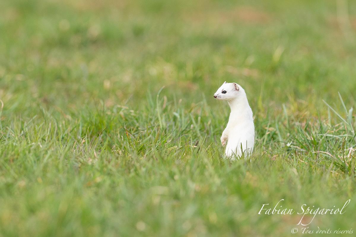 Une chandelle blanche: cette hermine qui tarde à faire sa mue printanière se repère de loin lorsqu'elle se met en chandelle pour observer les environs.
