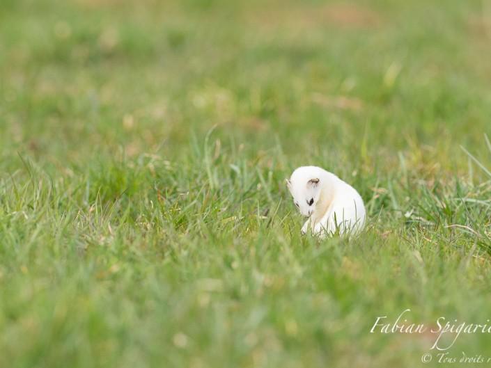 La toilette de la dame blanche: Revêtue d'un manteau blanc pour quelques jours encore, cette hermine observée sur les hauteurs du Val-de-Travers se montre coquette et prend soin de sa fourrure immaculée.