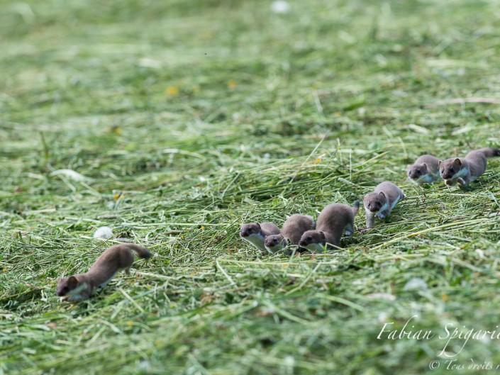 Cette scène extrêmement rare a été immortalisée sur les hauteurs du Val-de-Travers: une famille d'hermine se balade dans un champ d'herbe fraichement fauché.