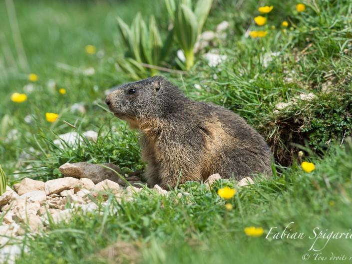 Postée à l'entrée de son terrier, cette jeune marmotte scrute les environs avant de s'aventurer sur son territoire.