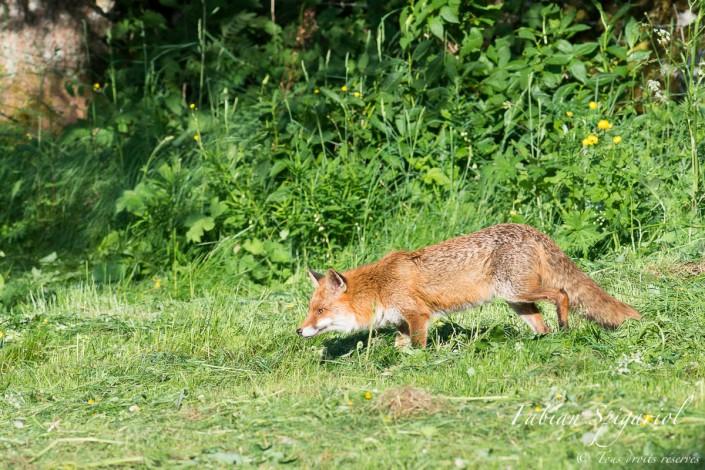 Renard roux en chasse - Le chasseur inspecte un champ fraichement fauché du Val-de-Travers à la recherche de campagnols.