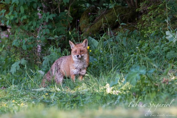 S'approchant à pas feutrés, ce magnifique renard roux est venu à deux pas de l'affût saluer les deux photographes qui attendaient ce moment avec impatience...