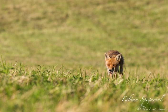 Chasseur roux au regard de braise - En inspectant systématiquement son champ favori sur les hauteurs du Val-de-Travers, le renard s'approche à quelques mètres seulement d'un photographe ravi.