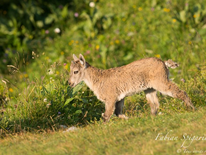 Ce jeune cabri de bouquetin âgé de quelques semaines s'offre une en balade printanière dans un pâturage fleuri de la réserve du Creux-du-Van.