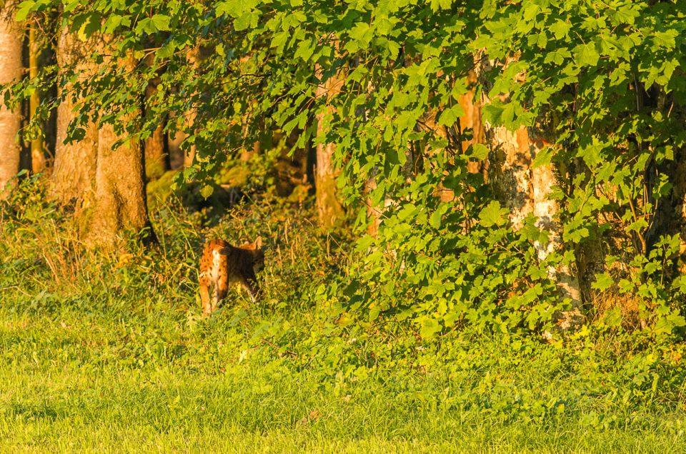 Photographie d'un lynx boréal immortalisé en bordure de forêt au coucher du soleil dans le jura neuchâtelois.