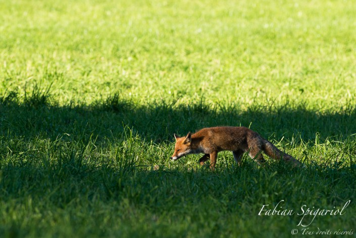 Maitre renard entre ombre et lumière - Partie de chasse au campagnol dans un champ des hauteurs du Val-de-Travers.