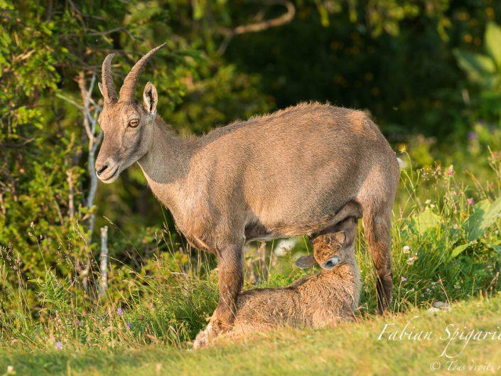 Cette étagne et son jeune cabri nous offre une scène d'une rare tendresse sur les hauteurs du Creux-du-Van.