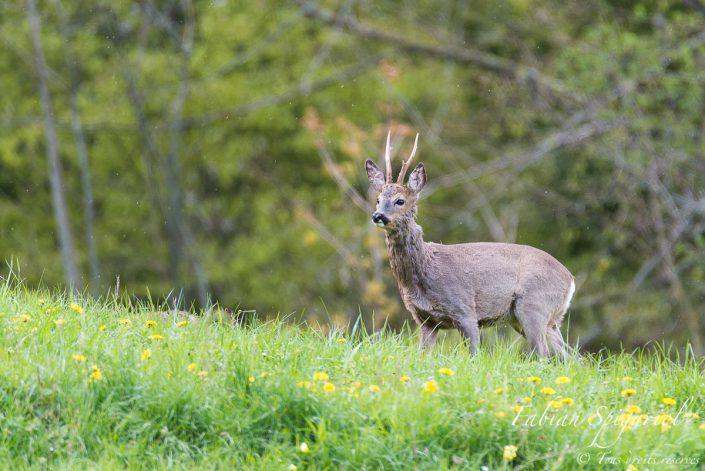 Brocard sous la pluie - Chevreuil débutant sa mue printanière dans un paturage boisé du Val-de-Travers.