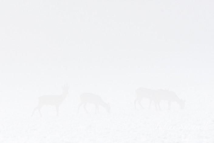 Apparition de chevreuils dans les brumes hivernales du Val-de-Travers.
