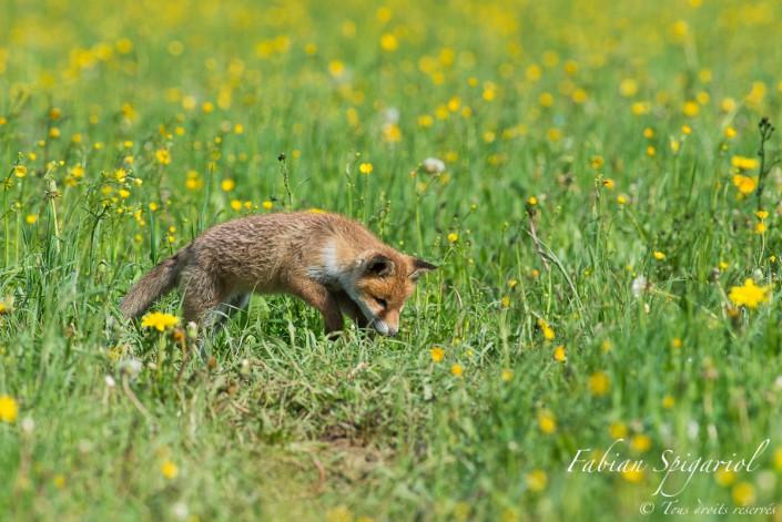 """Jeune chasseur deviendra grand - La """"proie"""" n'est encore qu'une mouche, mais l'attitude du chasseur est déjà bien là pour ce jeune renardeau..."""