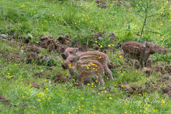 Les trois petits cochons - Rencontre inattendue en pleine journée avec trois jeunes marcassins rayés dans un pâturage boisé des environs du Val de Travers et de la réserve du Creux du Van.