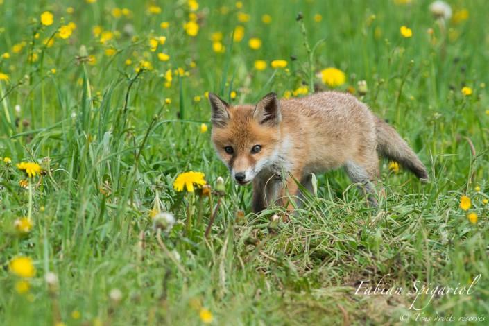 Petit chasseur deviendra grand - Une approche discrète et rondement menée permet à ce jeune renardeau de se faufiler entre les herbes pour venir observer de plus près ce drôle de photographe...