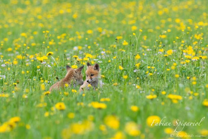 Renardeaux les yeux dans les yeux - Moment de complicités entre deux renardeaux perdus dans un champ coloré de pissenlits.