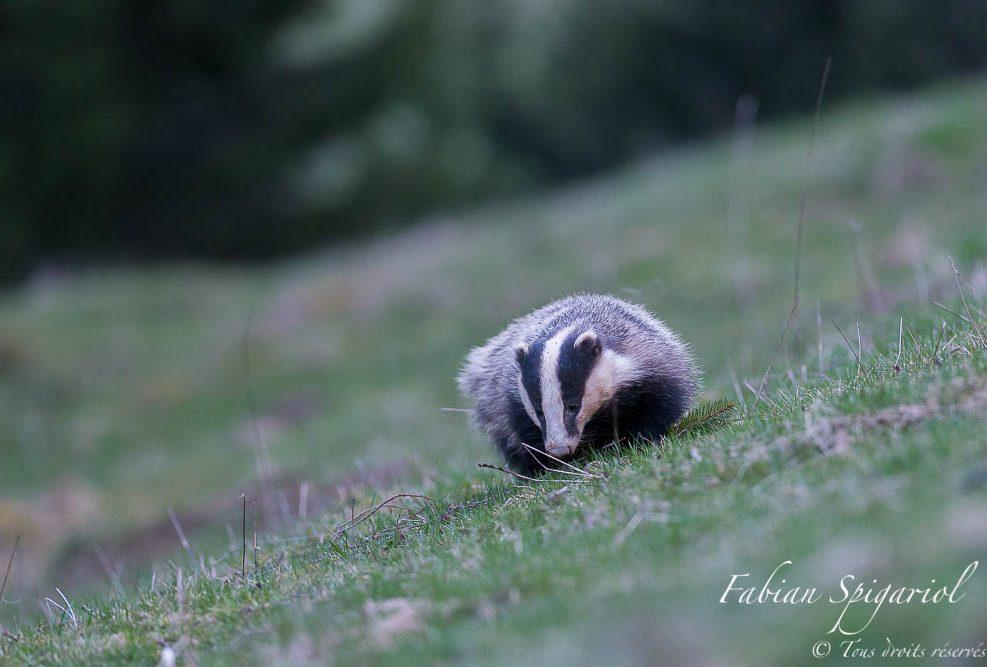 Balade du soir - Maître blaireau en balade crépusculaire dans un champ des crêtes du Jura neuchâtelois.