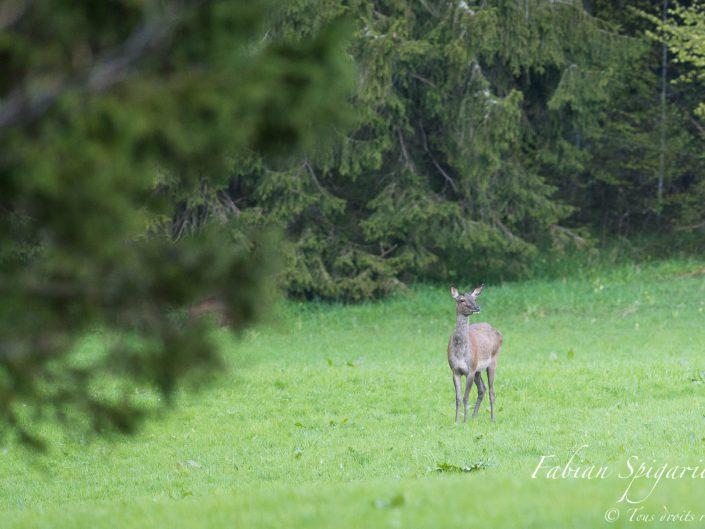 Biche de Cerf - En toute discrétion, cette biche sort du couvert forestier pour brouter un soir d'été quelque part sur dans le Val Obscura.
