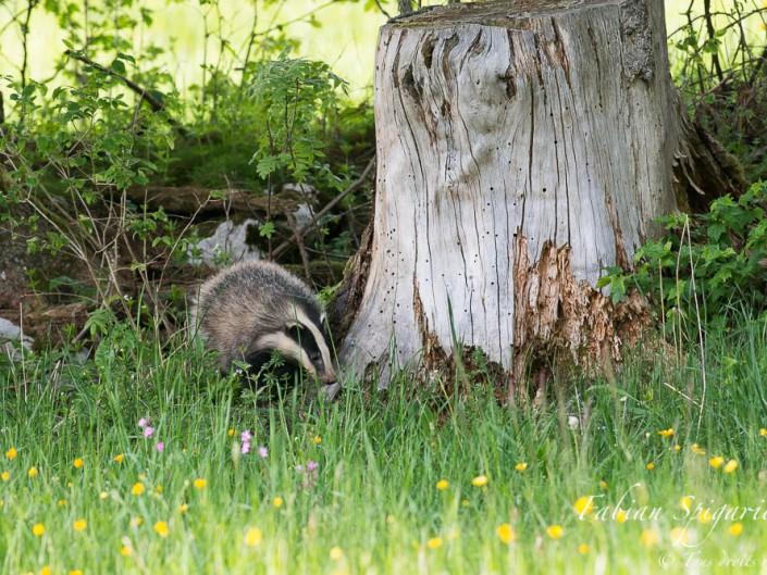 Blaireau en vadrouille - Un discret bruissement entre les herbes, une boule grise qui se faufile dans l'ombre de la haie, pas de doutes, le blaireau est de sortie...