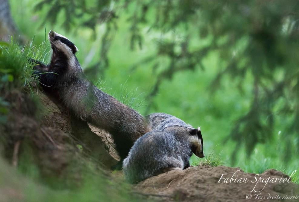 Etirements - Sortis du terrier au cépuscule, les blaireaux s'adonnent à quelques séances d'étirement avant de partir en vadrouille.