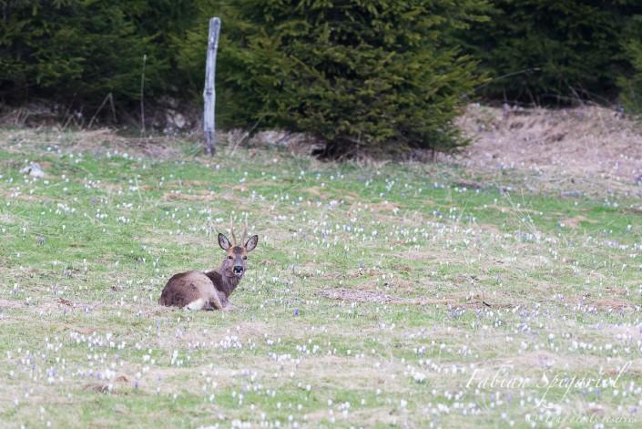 Brocard et crocus - Chevreuil allongé dans un champ de crocus au printemps sur les crêtes du Val-de-Travers.