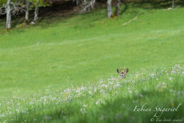 Caché dans les hautes herbes de la petite montagne, ce chevreuil a eu vite fait de remarquer un bipède en approche...