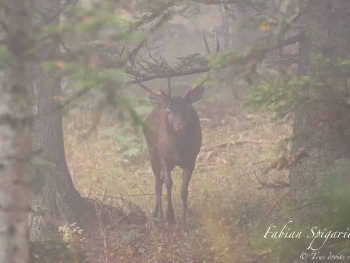 Lorsque le brame surgit à quelques mètres seulement, et que le cerf sort de la brume pour venir à votre rencontre, le frisson est garanti...