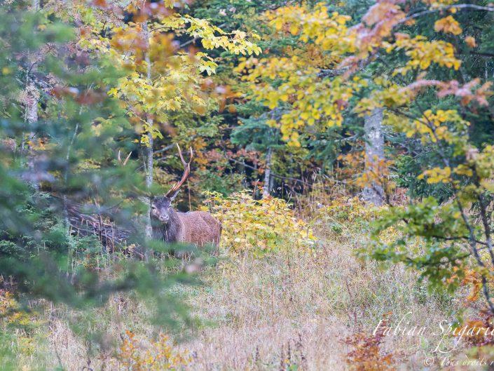 L'automne venu, dans les tréfonds du Val obscura, retend un chant d'amour que les crêtes jurassiennes avaient oubliées depuis longtemps: le brame du cerf.