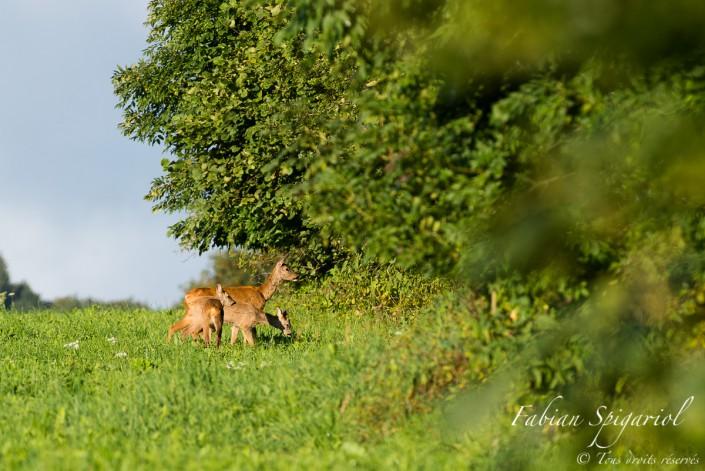 Photo de famille - Chevrette accompagnée de ses deux jeunes en lisière de forêt dans les hauteurs du Val-de-Travers.