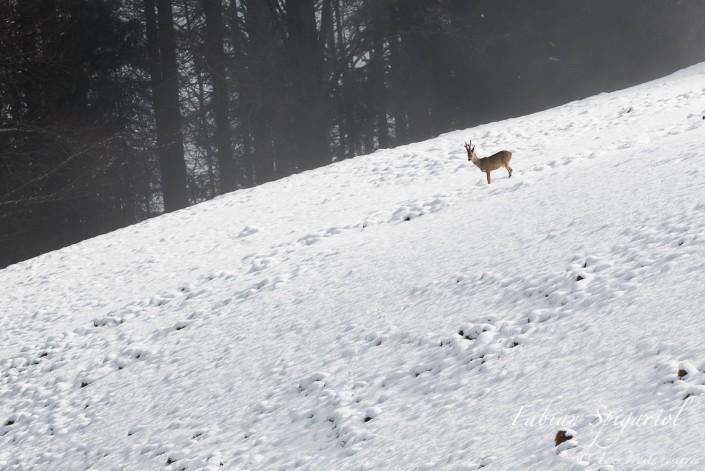 Brocard dominant la pente - Un chevreuil observé dans une pente enneigée des hauteurs du Val-de-Travers.