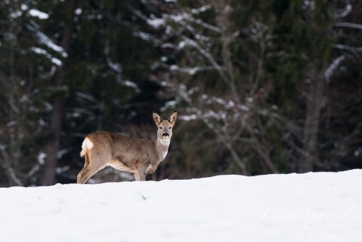 Chevreuil au coeur de l'hiver - Cette chevrette s'affaire à gratter la neige pour dégager un repas.