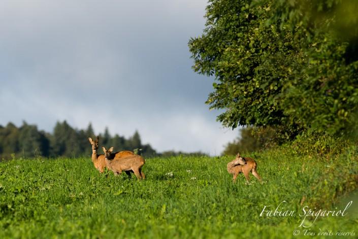 Portrait de famille - Chevrette accompagnée de ses deux jeunes en lisière de forêt dans les hauteurs du Val-de-Travers.